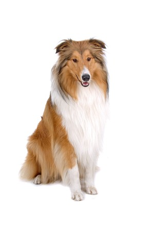 collie: Rough collie (scottish) Scottish shepherd (Lassie) isolated on a white background