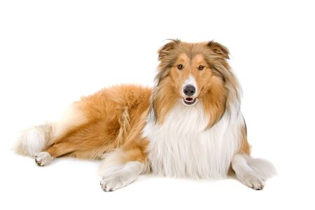 rough collie (scottish) scottish shepherd (Lassie Stock Photo - 7120591