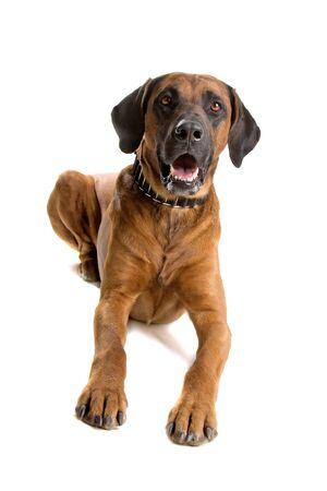 rhodesian: Rhodesian Ridgeback dog looking at camera