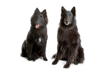 groenendaeler, long haired belgium shepherd dogs photo