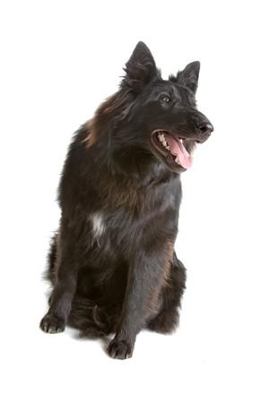groenendaeler, long haired belgium shepherd dog  photo