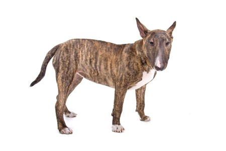 terriers: English Bull Terrier ( Bully, Gladiator) looking at camera