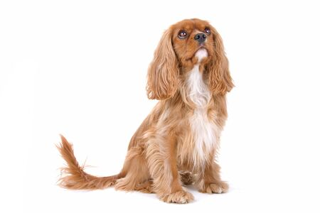 cavalier king charles spaniel: cavalier king charles spaniel dog isolated on a white background