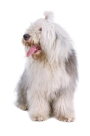 old english sheepdog (bobtail) isolated on a white background photo