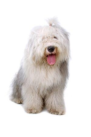 old english sheepdog (bobtail) sticking out tongue photo