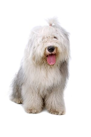 sheepdog: old english sheepdog (bobtail) sticking out tongue Stock Photo