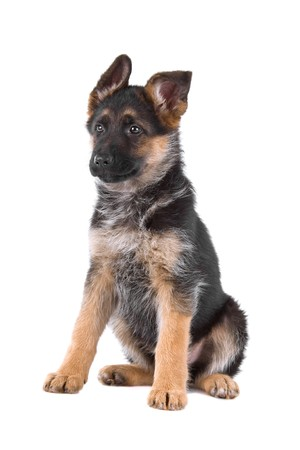 front view of a german shepherd puppy sitting photo