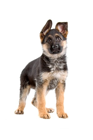 german shepherd: german shepherd dog and puppy isolated on a white background Stock Photo