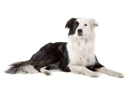 osolated: black and white border collie isolated on a white background
