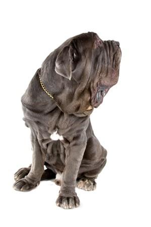 Mastino Napoletano, Mastino, Neapolitan Bulldog  photo