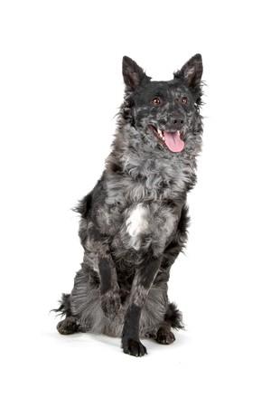 hungarian mudi dog sitting with a paw raised