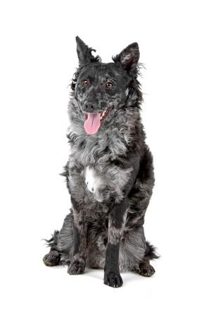 sticking out the tongue: perro Mudi negro y merle, fuera la lengua