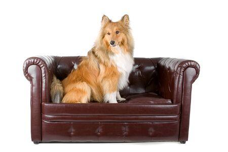 lassie: Rough collie (scottish) Scottish shepherd (Lassie)