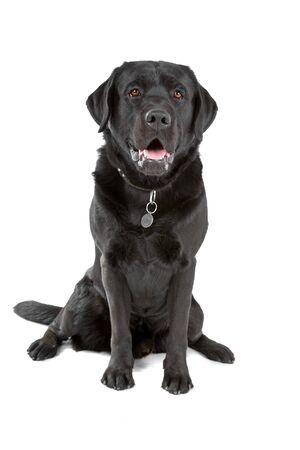 black labrador retriever dog sitting and looking at camera photo