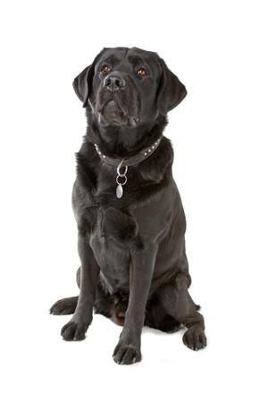 black labrador retriever dog sitting and looking up photo