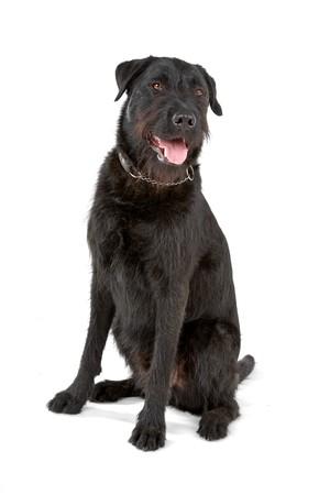 mixed breed dog (labrador/ bouvier des flandres) Reklamní fotografie