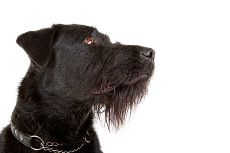 head of a mixed breed dog (labrador/ bouvier des flandres) Stock Photo - 7108129