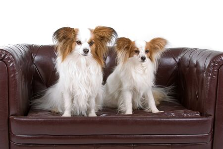 Papillon: two Papillon dogs (Butterfly Dog,Squirrel Dog) puppies