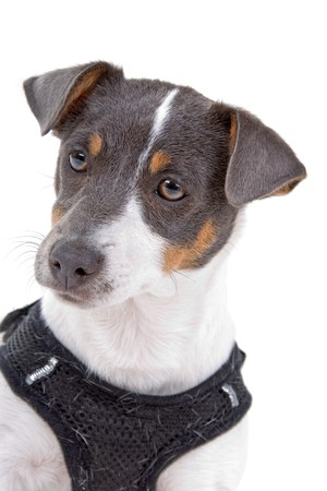head of jack russel terrier dog isolated on a white background photo