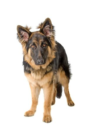 german shepherd puppy: front view of a german shepherd puppy looking at camera