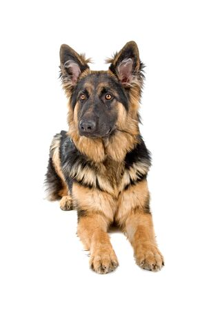 german shepherd puppy: german shepherd puppy isolated on a white background