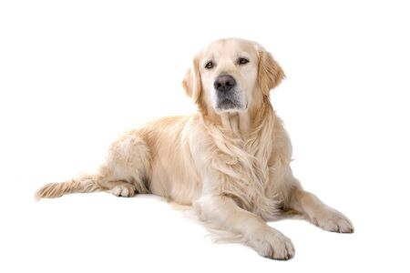 golden retriever dog isolated on a white background Stock Photo - 7107949