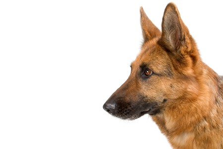 head of german shepherd dog isolated on a white background photo