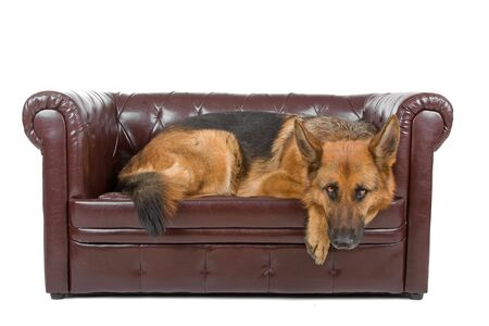 lying on couch: german shepherd dog lying on a couch Stock Photo