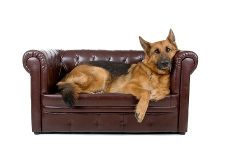 german shepherd dog lying on a couch Stock Photo - 7108113