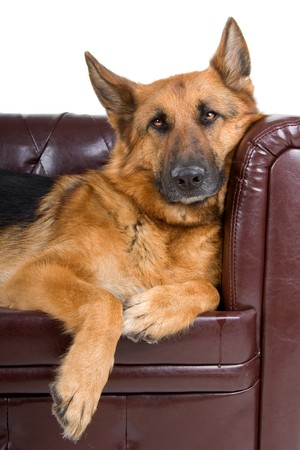 lying on couch: german shepherd dog resting on a couch