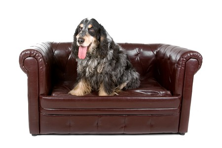 cocker spaniel dog up on a couch and sticking out tongue photo