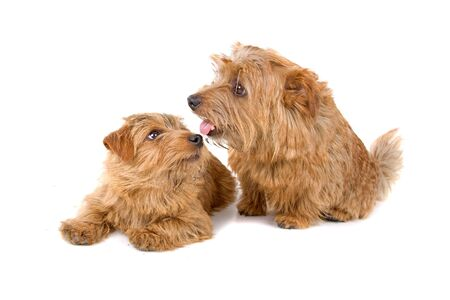 terriers: Two Norfolk Terrier dogs isolated on white