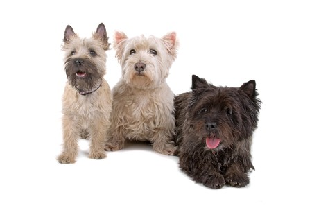cairn: two West Highland White Terrier and a cairn terrier dog