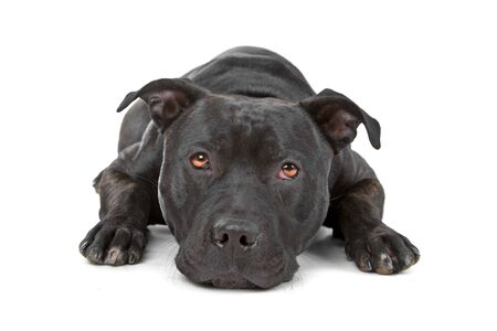 resting Staffordshire Bull Terrier looking at camera photo