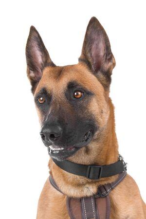 head of a belgian shepherd dog Malinois photo