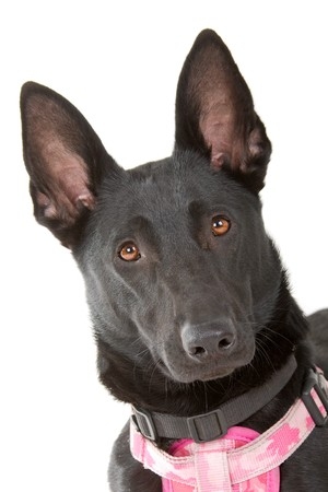 belgian: head of a black belgian shepherd malinois dog