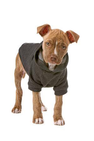 nariz roja: vestido con un cachorro de nariz roja de camisa mirando la c�mara