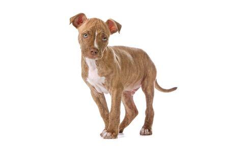 nariz roja: Vista frontal de un cachorro pitbull de nariz roja aislado en blanco  Foto de archivo