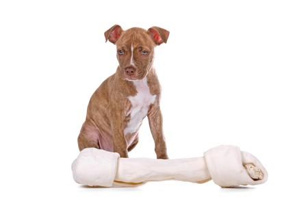 nariz roja: Vista frontal de un cachorro pitbull de nariz roja y un juguete blanco  Foto de archivo