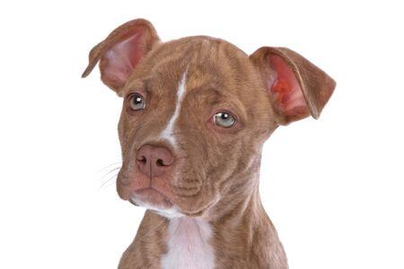nariz roja: cabeza de cachorro pitbull de nariz roja aislado en blanco