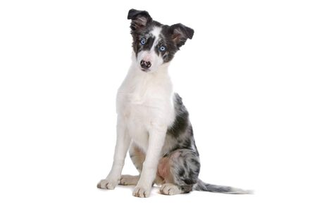 border collie puppy: sitting border collie puppy isolated on a white background Stock Photo