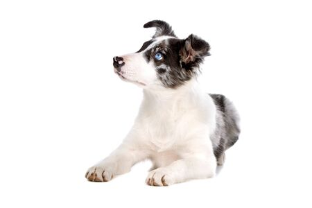 border collie puppy: border collie puppy isolated on a white background Stock Photo