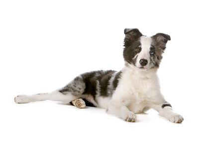 border collie puppy: lying border collie puppy isolated on a white background