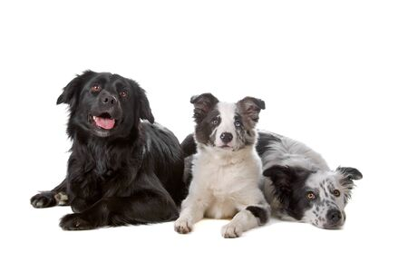 bordercollie: group of three border collie dogs
