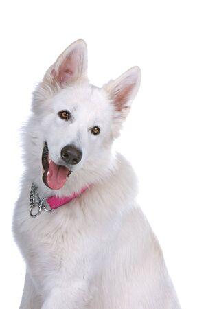white shepherd dog: testa di un cane da pastore svizzero bianco si conficca fuori la lingua