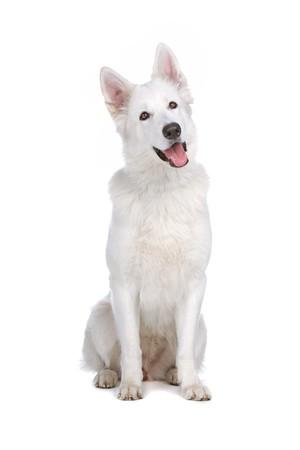 white shepherd dog: Swiss bianco cane pastore isolato su uno sfondo bianco Archivio Fotografico