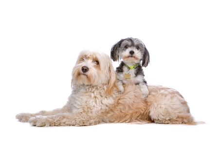terriers: mixed breed dog up on a tibetan terrier Stock Photo