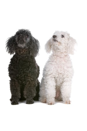 two toy poodle dogs looking up Stock Photo