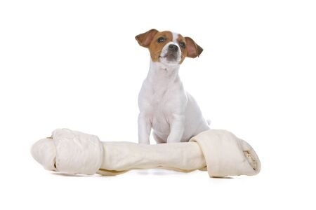 dog toy: jack russel terrier dog sitting behind a toy Stock Photo