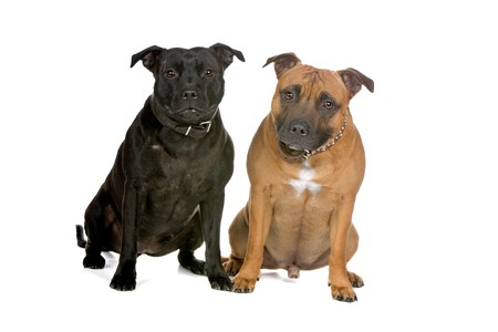 two staffordshire bull terrier dogs sitting and looking at camera photo